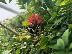 butterfly x1