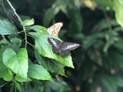 butterfly x3