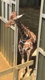 giraffe x2